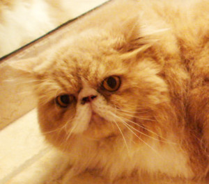 Buddy, the Persian cat, with a messy face